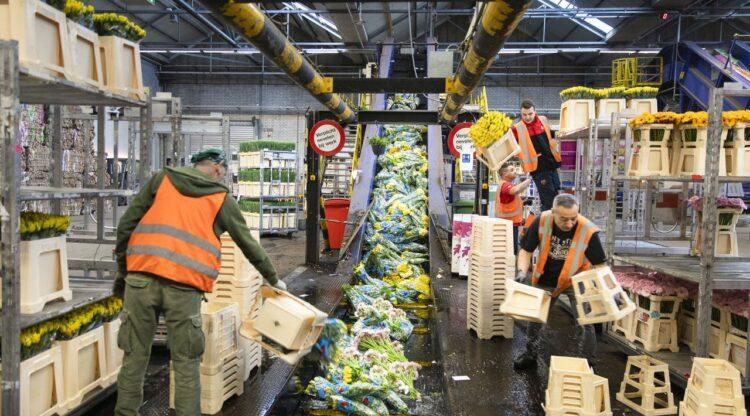 Werkers gooien onverkoopbarebloemen op de lopende band om vernietigd te worden tijdens Coronacrisis